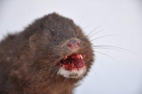 vin weasel